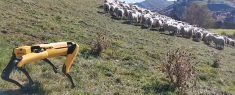 Boston Dynamics' Robot Dog Herding Sheep And Checking Crops