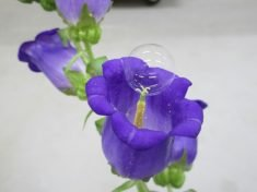 A Japanese scientist has demonstrated that soap bubbles can be used to pollinate flowers